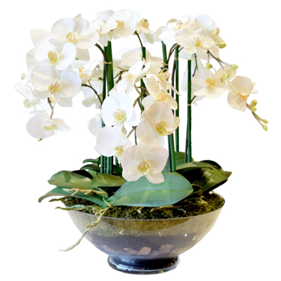 phalaenopsis-orchid-front1