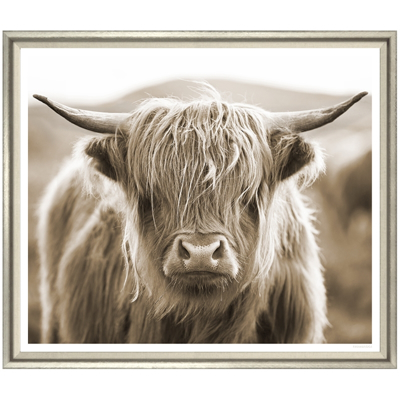 highland-cow-front1